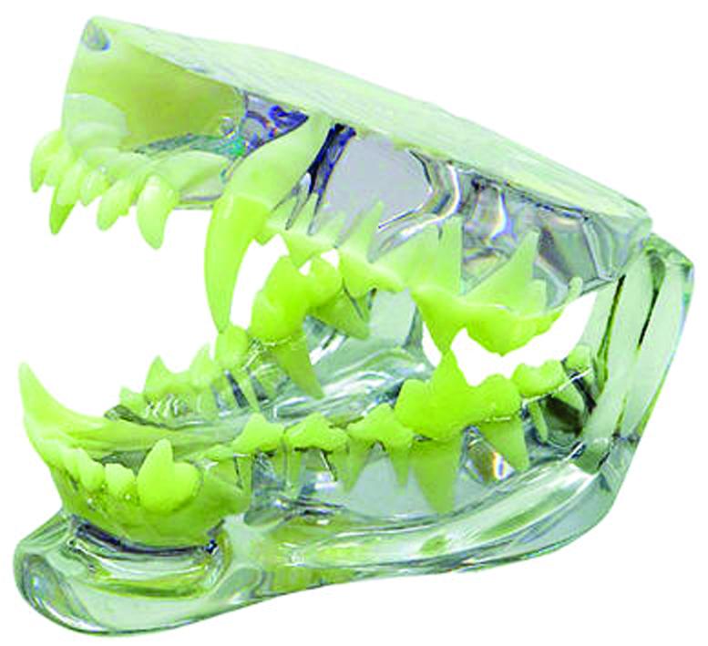 Dental Anatomical Models