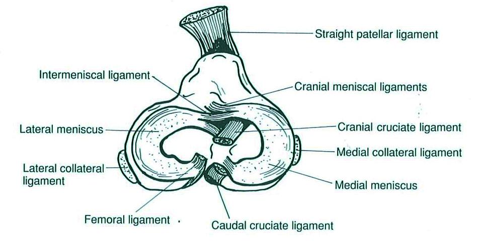 Meniscal Surgery and Examination