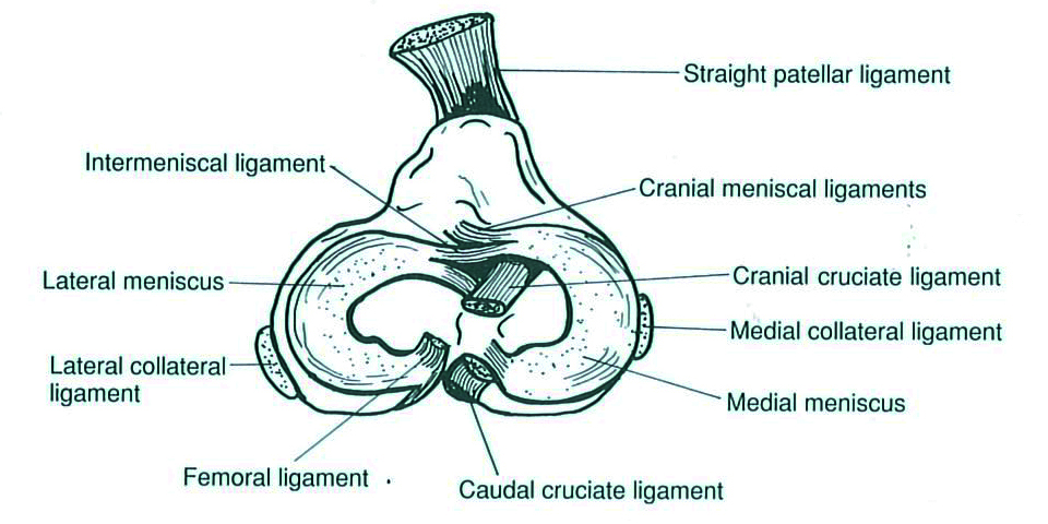 Meniscal Surgery and Examination